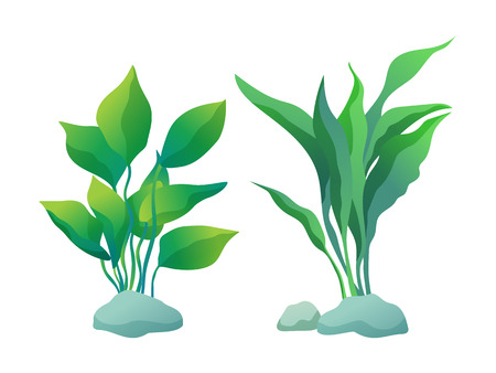 Algae plant with deltoid and wedge-shaped leaves. Vector illustration set isolated on white for informative maritime poster or nautical journal.