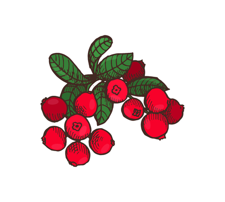 Cranberry food delicious berries with leaves isolated icon vector. Dinner and fresh meal, harvesting period and ingredients full of vitamins, dieting