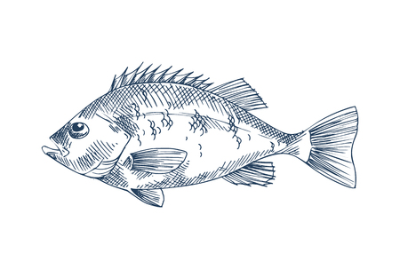 Bass seafood vector monochrome illustration. Stock Photo