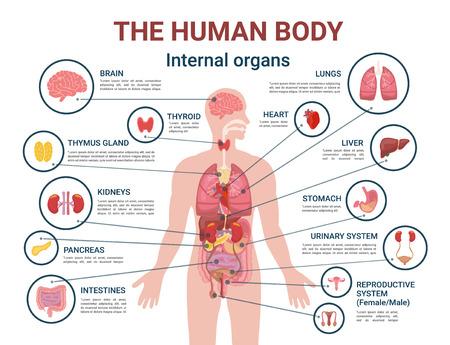Vector de cartel de información de órganos y partes internas del cuerpo humano. Corazón y cerebro, hígado y riñones. La glándula del timo y el sistema reproductivo de hombres y mujeres. Ilustración de vector