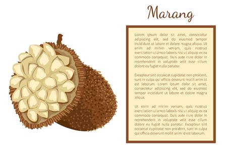 Marang exotic juicy fruit whole and cut vector poster frame for text. Terap johey oak, green pedalai, madang, tarap or timadang. Tropical edible food