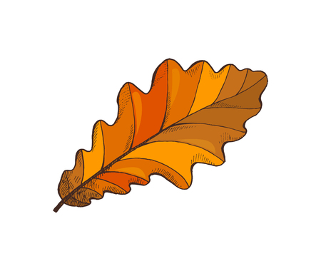 Oak or acorn tree leaf leaf autumn season symbol, isolated icon, nature botanical element vector. Frondage and foliage wavy dry fallen leaves sign