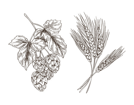 Wheat and Hop Bunches Isolated on White Background