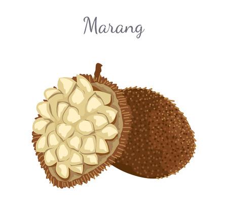Marang Exotic Juicy Fruit Vector Isolated Terap
