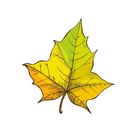Maple Leaf Shaped Foliage Isolated Icon Vector