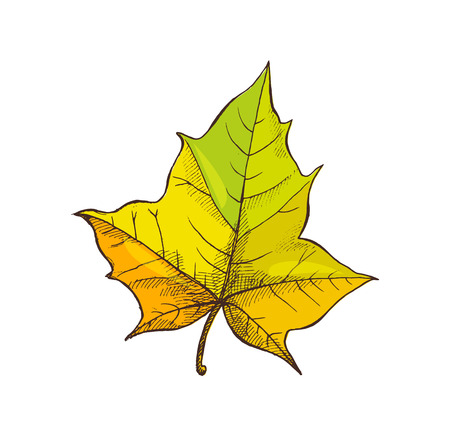 Maple Leaf Shaped Foliage Isolated Icon Vector