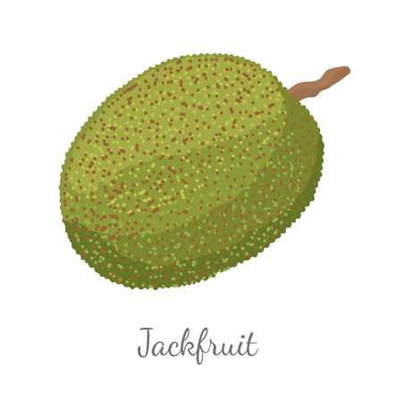Jackfruit exotic juicy stone fruit vector isolated. Jack tree, fenne, jakfruit or jak. Fig, mulberry, and breadfruit in India. Tropical edible food Illustration