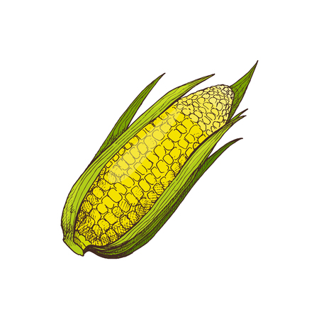Corn organic agricultural, rural raised food isolated vector. Maize with seeds and leaves, unprepared ingredient. Vegetable growing on farm harvest