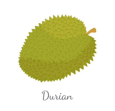 Durian exotic juicy Thailand or Malaysia fruit with unusual flavour and odour vector isolated. Tropical edible food, dieting vegetarian icon full of vitamins Illustration