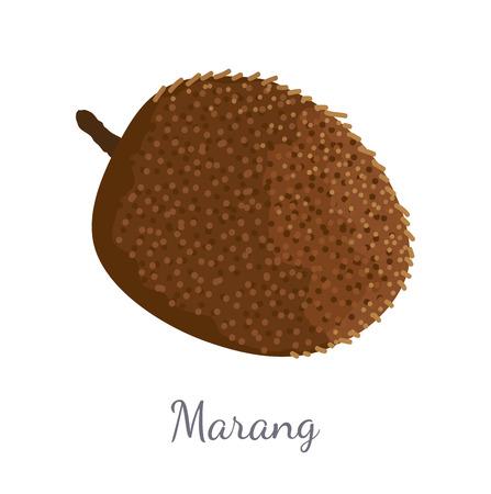 Marang exotic juicy fruit vector isolated. Artocarpus odoratissimus, terap, johey oak, green pedalai, madang, tarap, or timadang. Tropical edible food