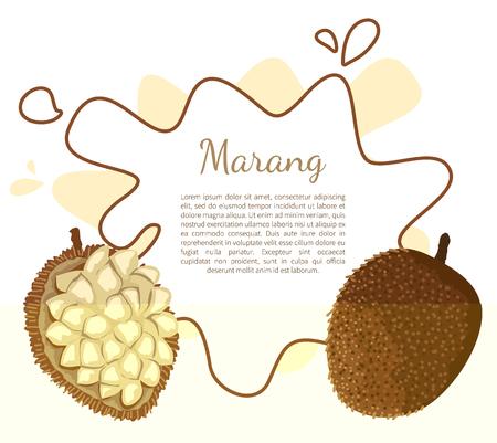 Marang exotic juicy fruit vector poster frame and text. Artocarpus odoratissimus, terap, johey oak, green pedalai, madang, tarap. Tropical edible food 向量圖像