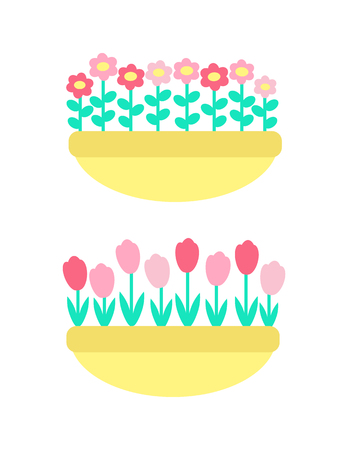 Daisies and marguerites, tulips springtime flowers grown in clay pot or flower-bed vector isolated plants. Colorful floral elements, pink and red botanical blossoms 일러스트