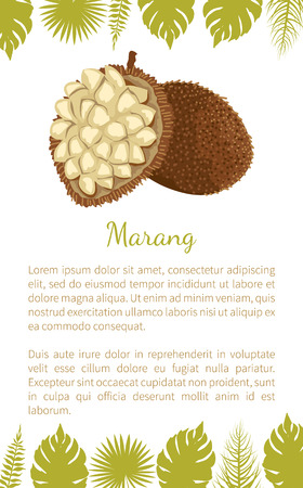 Marang exotic juicy fruit vector poster text sample and leaves. Artocarpus odoratissimus, terap, johey oak, green pedalai, madang, tarap, or timadang Stock Vector - 125182426