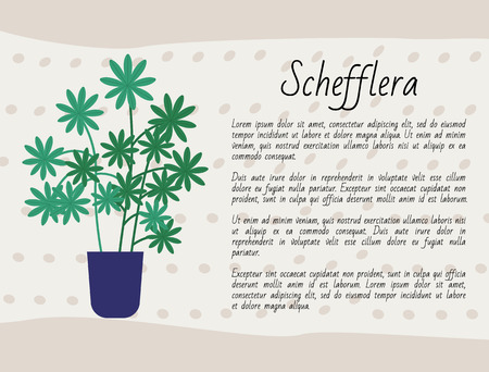 Schefflera growing in pot vector, domestic plant in container with soil, botany and floral decoration of home, poster with info text about botany kind Illustration