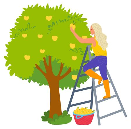 Woman standing on stairs and picking apples from tree, ripe product. Female gardener near fruit wood, wicker basket, agricultural work, freshness vector