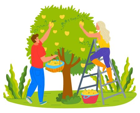 People picking pears in garden vector, man and woman working in summer. Harvesting season on farm, farmers with fresh fruits and plants on trees flat style Illustration