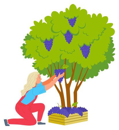 Woman farmer picking grapes from bush, grape in wooden case. Agricultural work or harvesting, plant with green leaves and ripe product, winemaker vector. Flat cartoon