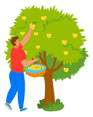 Man gardener picking apples from tree, person holding wicker basket with fresh fruit. Harvesting or gardening work, wood with growth, agriculture vector. Flat cartoon