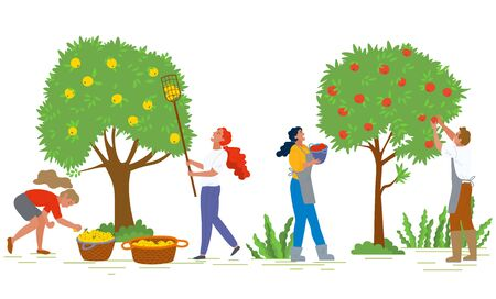 People picking apples in gardens vector, man and woman working together. Organic production, ripe fruits growing on trees, baskets with food flat style. Pick apples concept. Flat cartoon