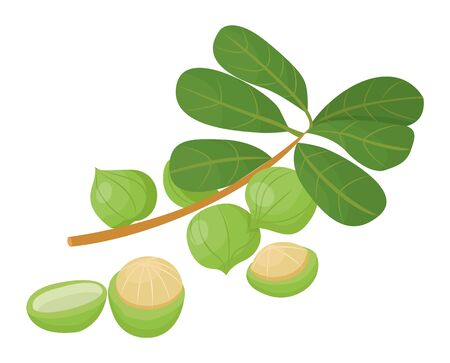 Branch with green leaves and maroochi nut. Macadamia nuts isolated on white background. Small core inside nutshell. Raw used in culinary and hair care, cosmetics as oil. Vector illustration in flat Vector Illustration