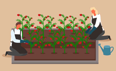 Scientists or farmers grow tomatoes. Woman and man growing and watering crops in a system without soil. Urban garden, farming. Scientists growing plants in city. Hydroponics conception. Flat image