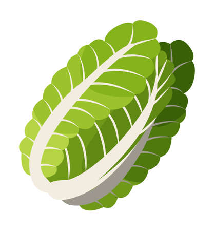 Isolated at white background chinese cabbage icon. Natural organic vegetable for salad or culinary. Healthy eating, keeping diet, vegeterian concept. Juicy salad leaves, eco plant. Vector illustration