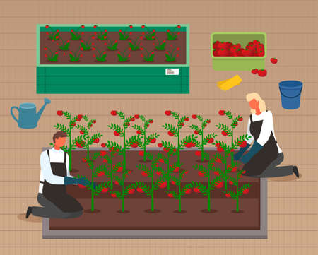 Urban farming, gardening or agriculture. Seedlings planting to the garden bed. Man and woman growing tomatoes and berries using modern technology, use of greenhouses. People harvest in boxes