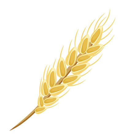 Image of oat or wheat spikelet. Ripened grain. Gold grain. Diet food, oatmeal. Whole stalks, organic vegetarian food packaging element. Useful foods while breastfeeding. Flat vector image on white