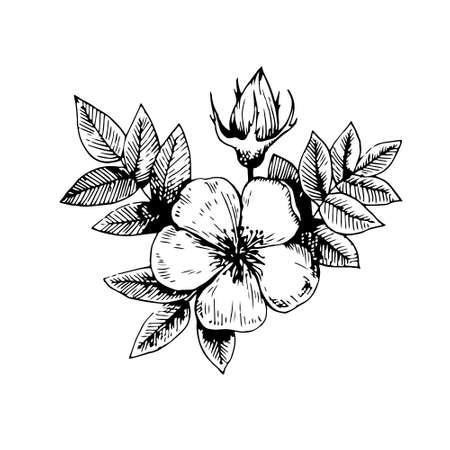 Vintage dog rose floral element. Vector original illustration