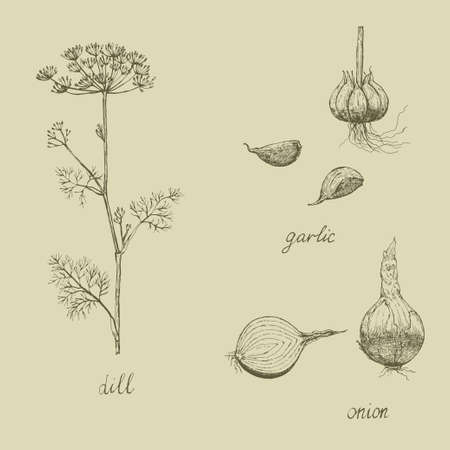 Vintage set of spices, garlic, onion and dill. Vector illustration
