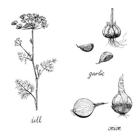 Vintage set of spices, garlic, onion and dill. Vector illustration Ilustração