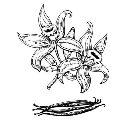 Hand drawn vanilla flowers with pods. Vector original illustration.
