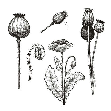 Vector set of poppy seeds and flowers. Ink hand drawing. Vector illustration