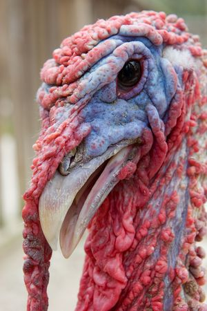 Close up of a Red and Blue Turkey Head photo