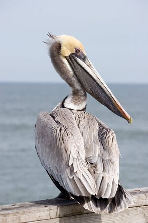 Yellow head pelican at a Beach in Florida