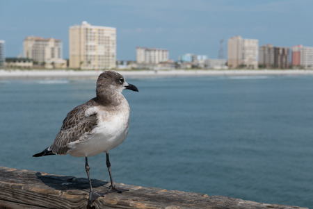 census: JACKSONVILLE BEACH, FL-AUGUST 27, 2015: A seagull looks over Jacksonville Beach from the pier. The population of Jacksonville Beach was 20,362 at the 2010 census.