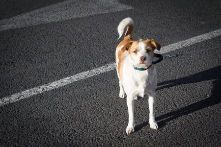 Small White and Brown Dog on a Leash in the Street