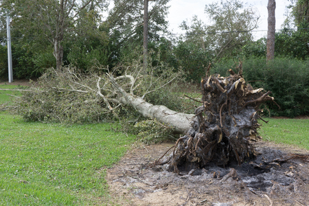 vedra: PONTE VEDRA BEACH, FLORIDA, USA - OCTOBER 11, 2016: A fallen tree after Hurricane Matthew blew along the east coast of Florida on October 7, 2016.