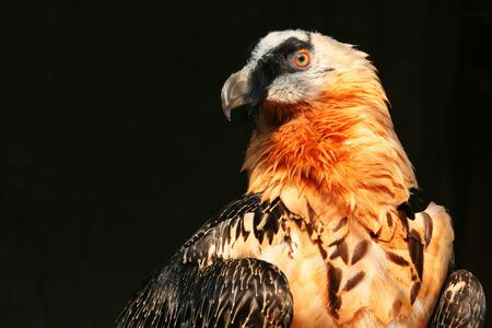 The portrait of bearded vulture  photo