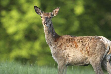deer in the meadow photo