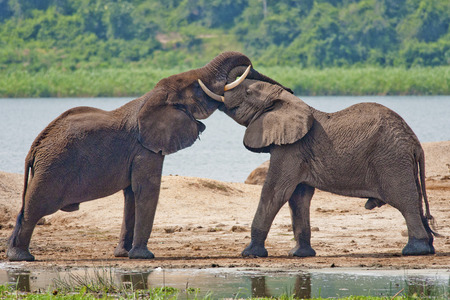 big5: a pair of elephants AFRICAN IS EXCHANGE OF KISSES ON THE BANKS OF A RIVER IN AFRICA