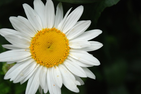 White daisy flowers on dark background Stock Photo