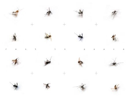 Image of dead mosquitos on white backgrounds Stock Photo