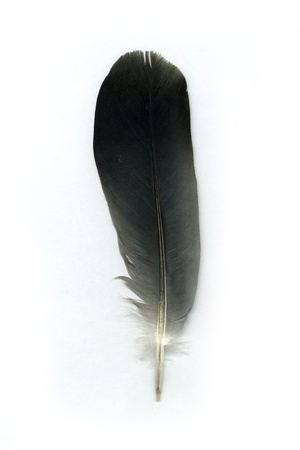Pigeon feather on white background photo