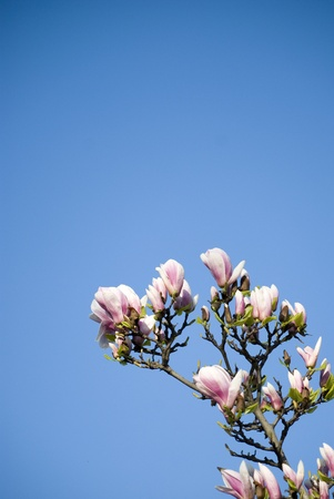 Branch of Magnolia flowers in spring bloom on blue sky background