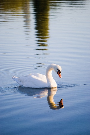 White swan floating on autumnal blue pond photo