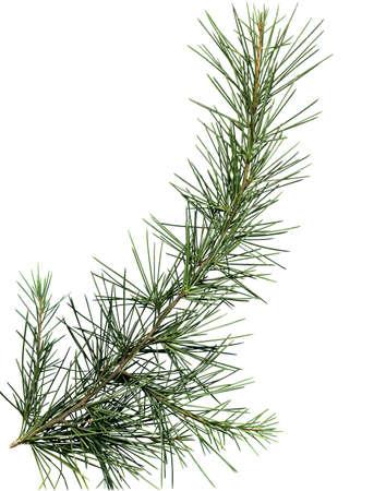 close up image: Close up image of pine tree branch