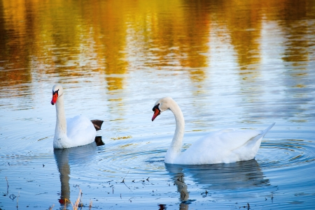 Two white swans on autumnal blue pond photo