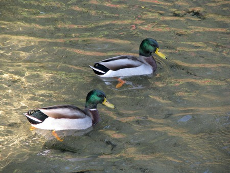 Male wild ducks floating on a pond Stock Photo
