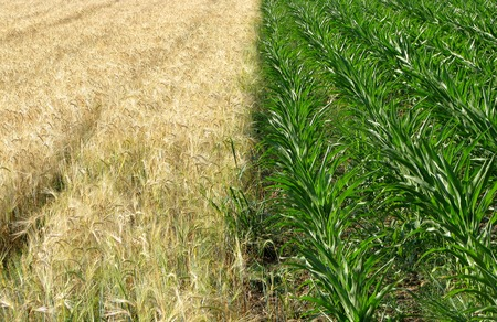 Green corn and gold wheat fields Stock Photo